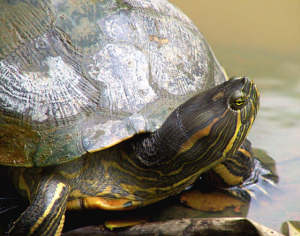 panama_turtle